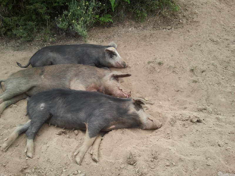 Three pigs laying in the sand.